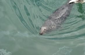 """Seal"" - Foca"